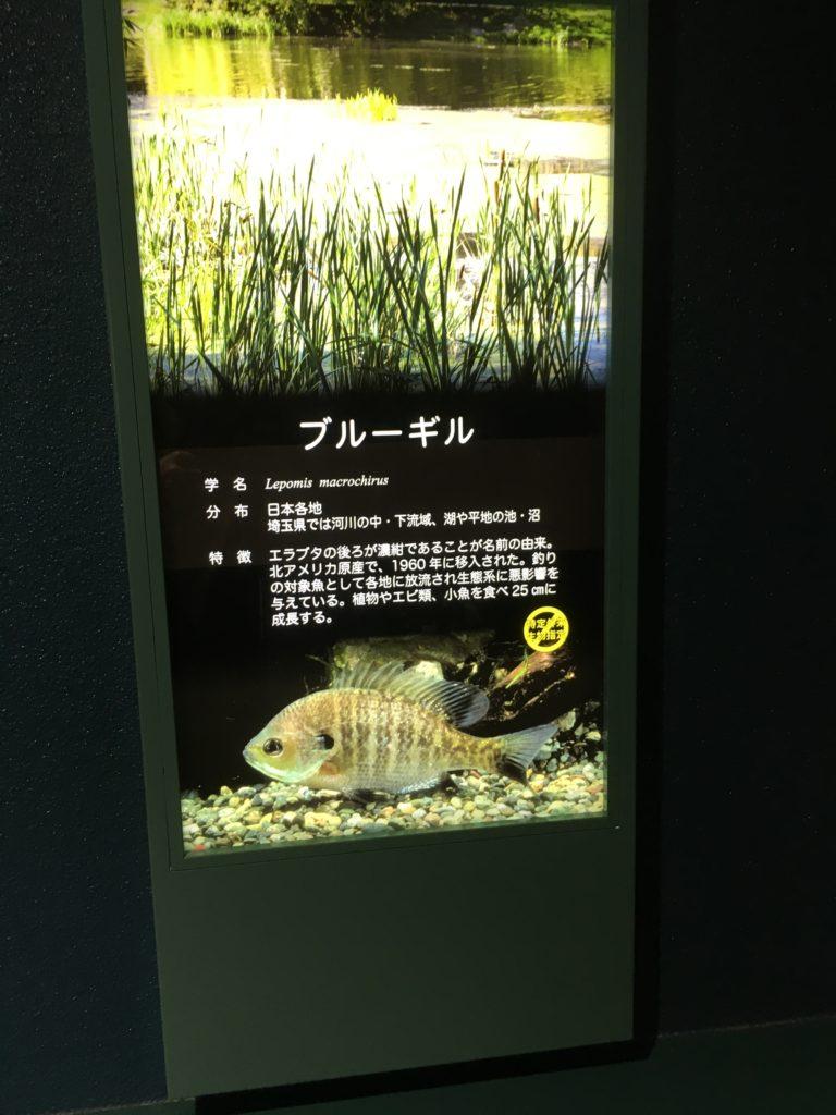 外来魚のブルーギル