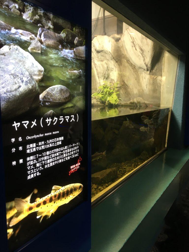 さいたま水族館のヤマメ