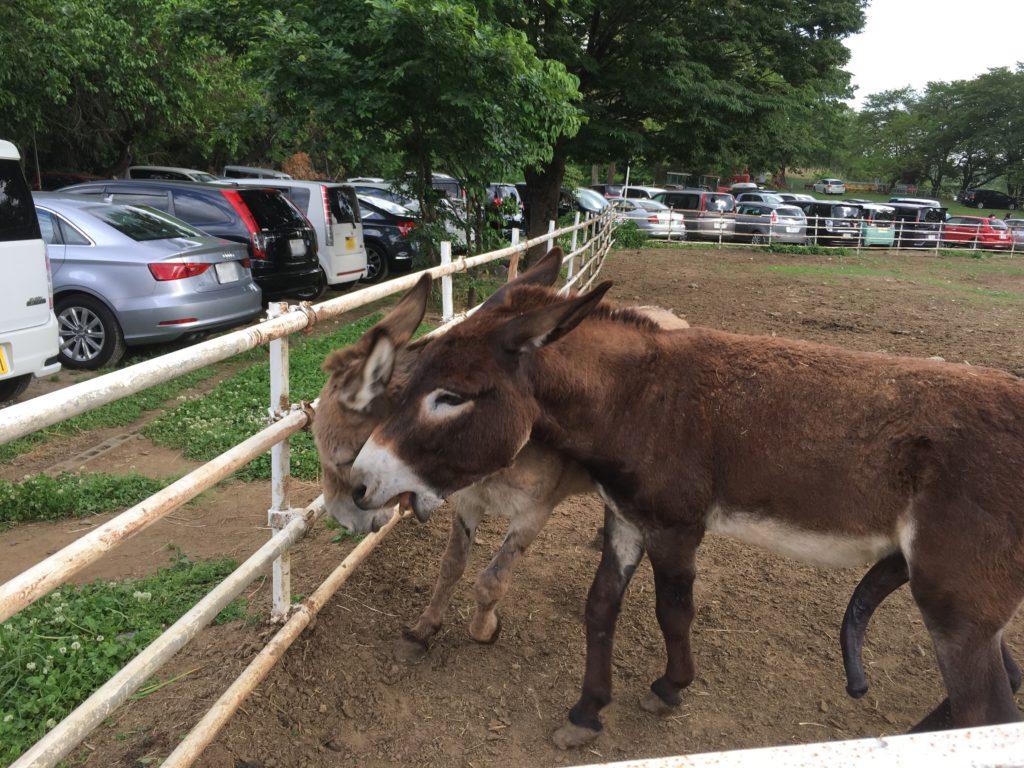 榎本牧場で飼育されているロバ