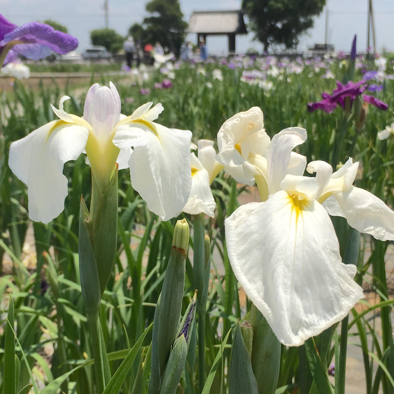 【菖蒲城址あやめ園】花しょうぶはいつ見頃?開花状況を調査してきた!