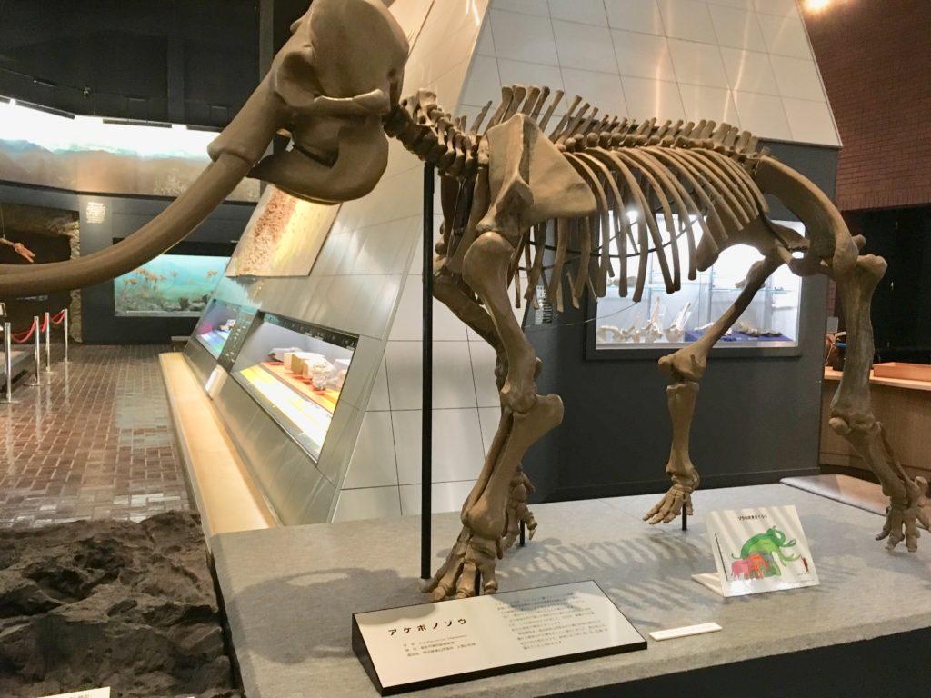 アケボノゾウの模型