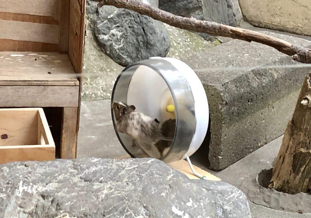 小動物コーナーのデグー