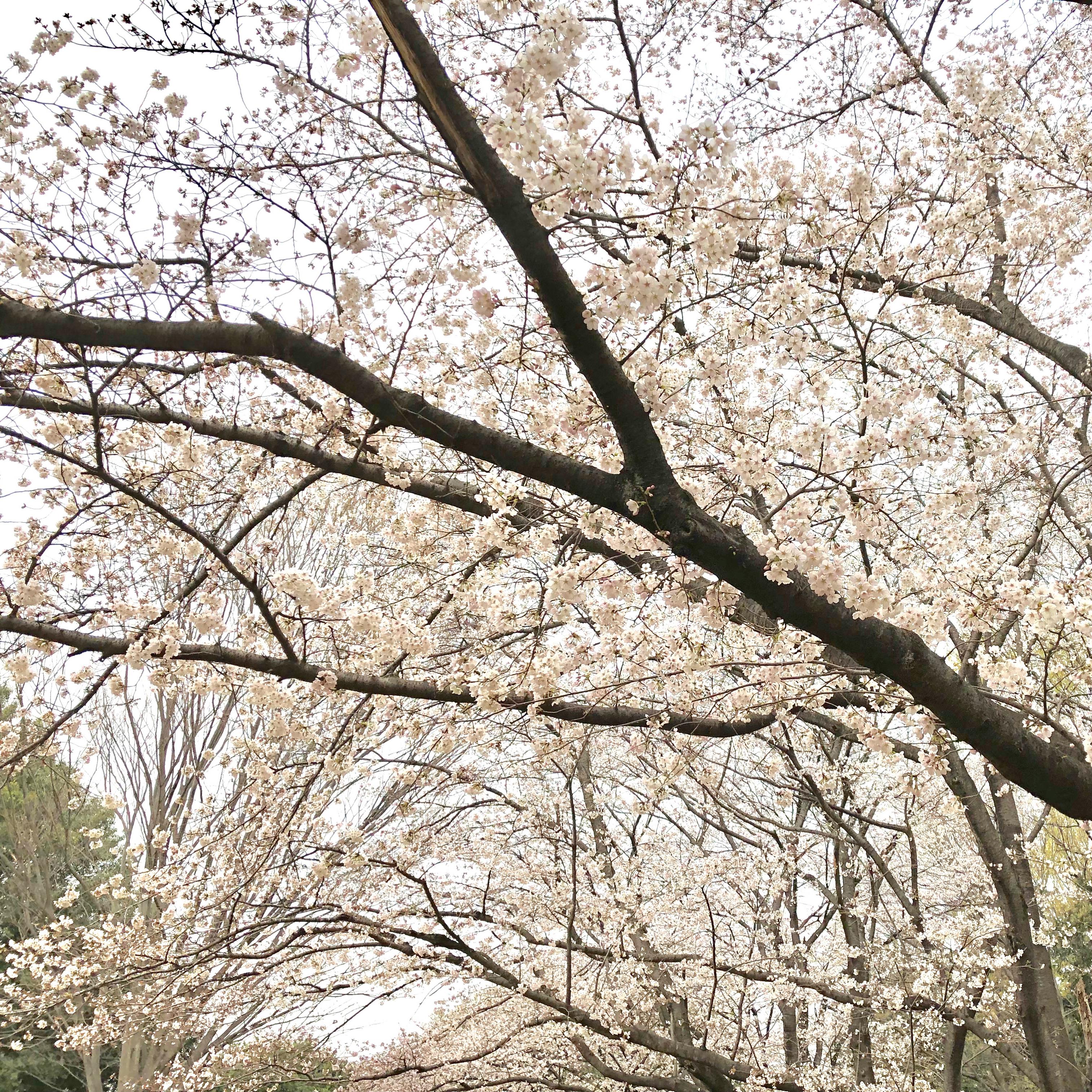 上尾の花見穴場スポットはどこ?地元民がレジャーシートで桜を堪能できる公園を紹介